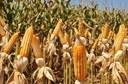 Enquanto a soja teve redução de 6% no total de toneladas produzidas, o milho cresceu mais de 40% no ano. No balanço geral, produção de grãos deve superar a safra anterior.